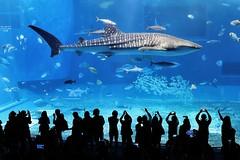 Whale Shark @ Churaumi Aquarium