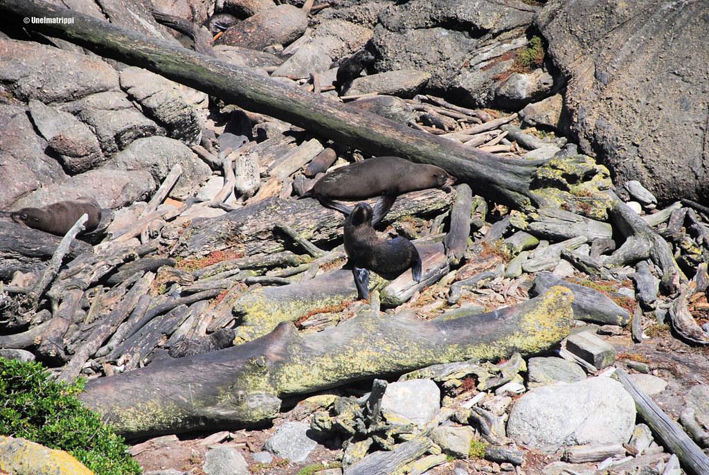 Hylje Cape Foulwindin hyljeyhdyskunnassa, Uusi-Seelanti