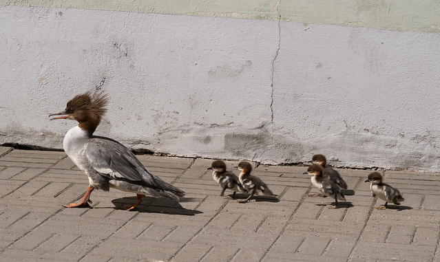 The march of the ducklings
