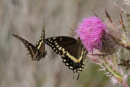 Rolf_Nagel-Fl-6975-Papilio_palamedes