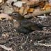 Female Eurasian Blackbird ----- Turdus merula