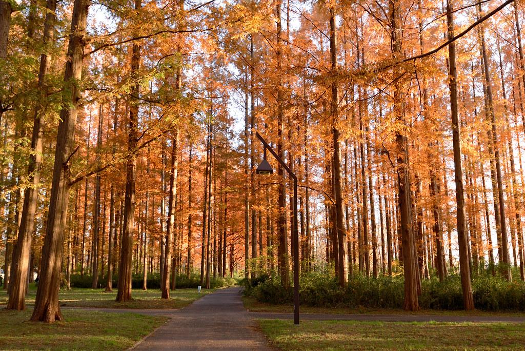 Mizumoto Park in autumn.  水元公園のメタセコイア