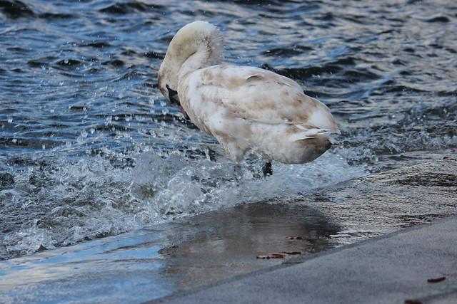 Schwan am Tegeler See