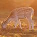 Fallow Deer Doe Dama dama 002-1