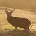 Red Deer Stag Cervus elaphus 10 Pointer 002-1