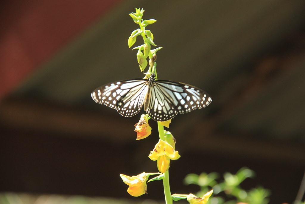 Butterfly, near Pradu seafood, Ko Yao Noi