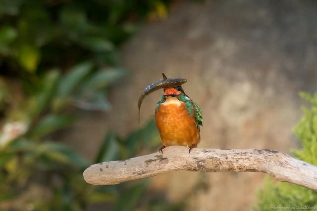 20171113-kingfisher-DSC_7606