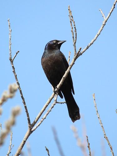 bird commongrackle quiscalusquiscula oshawa ontario canada