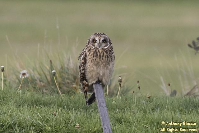 Short-eared Owl (4163)