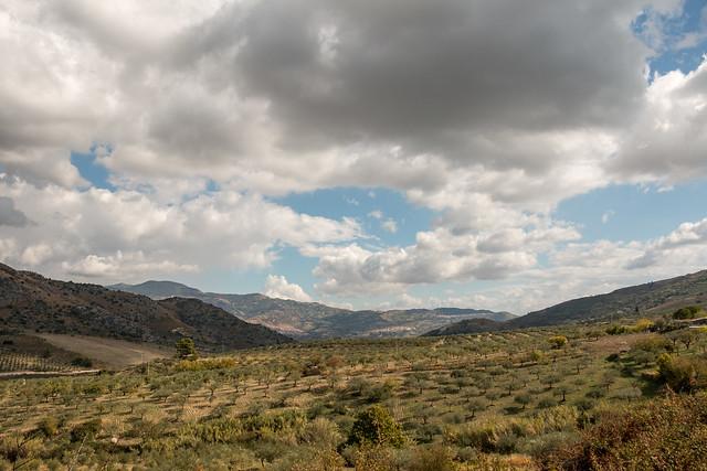 Olive trees landscape.
