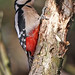 Great Spotted Woodpecker (f)