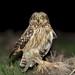 Coruja do Nabal, Short-eared Owl (Asio flammeus) by Nuno Xavier Moreira