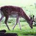 52 Fallow Deer in velvet.