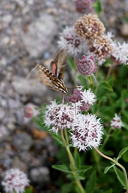 Hyles lineata (White-lined Sphinx) nectaring
