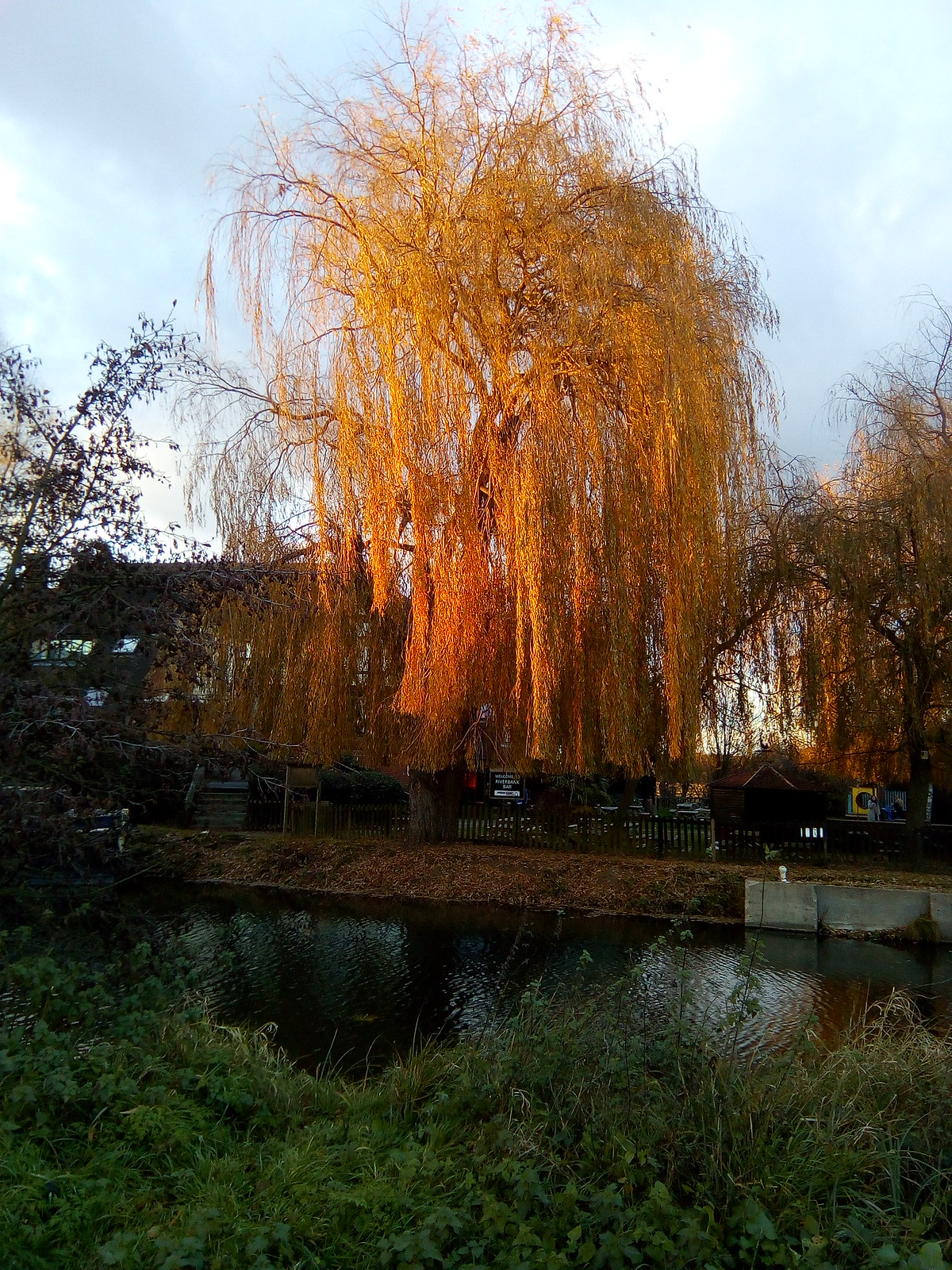 Willow Canopy over the River Stort