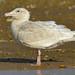 glaucous gull 1 02 EJC #