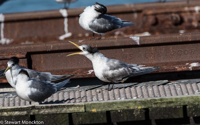 Crested Tern