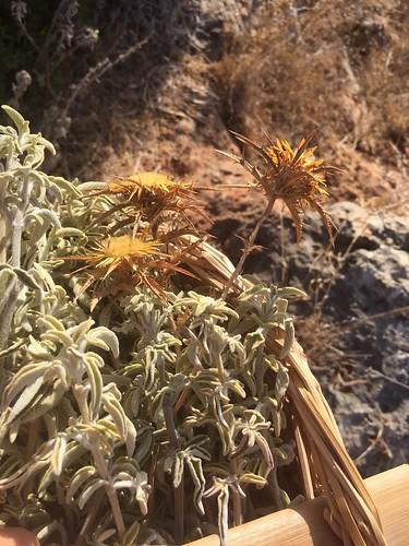 Summer Sage Harvest