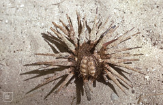 Pencil urchin, spines used for earings. St Annes