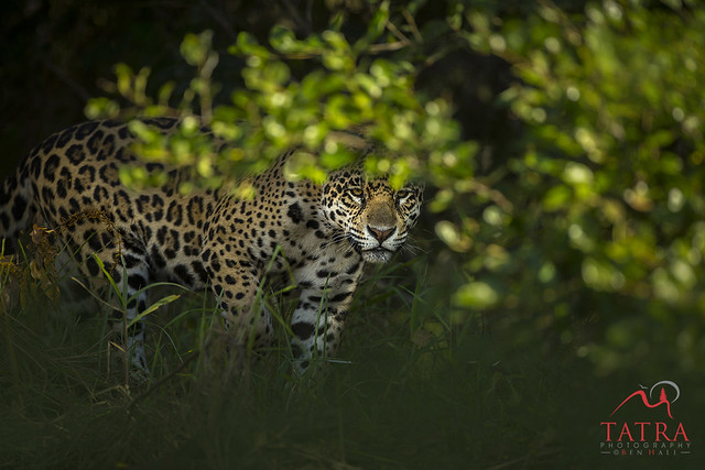 Pantanal Brazil, Canon EOS-1D X, Canon EF 500mm f/4L IS