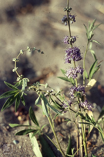 Chaste tree: Monk's pepper. Vitex agnus-castus. Verbeanceae.  Dry river beds and shingle beaches. Aug.
