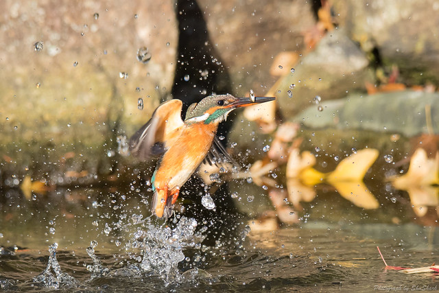 20171210-kingfisher-DSC_0596