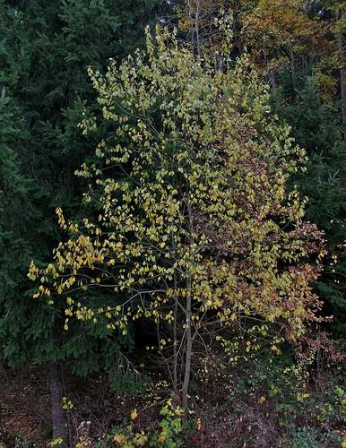 Salix caprea - saule marsault, saule des chèvres 38271399866_a6641af599