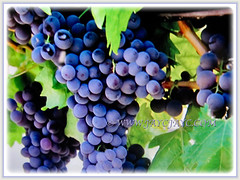 Mesmerising dark blue-purple fruits of Vitis vinifera (Common Grape Vine, Wine Grape, Purpleleaf Grape, Anggur in Malay), 6 Dec 2017