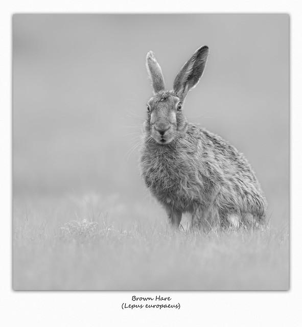 Brown Hare (Lepus europaeus).