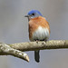 Eastern Bluebird by Alan Gutsell
