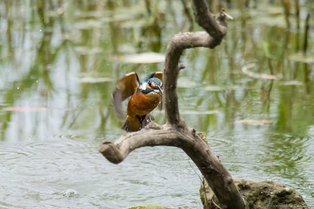 20171119-kingfisher-DSC_7752