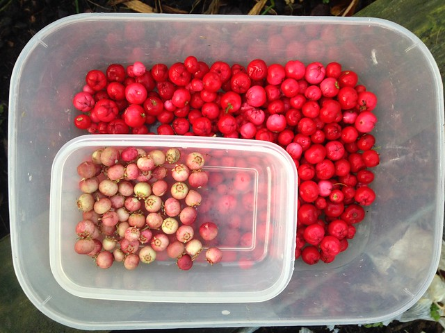 Wintergreen berries and Chilean guavas