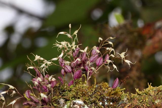 Trichosalpinx hamiltonii