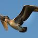 Twilight Flight - California Brown Pelican by captured views