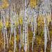 Late Autumn Aspens