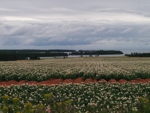 Potato fields stretching from Point Prim Road down to Long Creek (3) #pei #princeedwardisland #belfast #longcreek #potato #potatoes #blossoms #fields #northumberlandstrait #pointprimroad #latergram