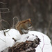 Red Squirrel in Minnesota by U.S. Fish and Wildlife Service - Midwest Region