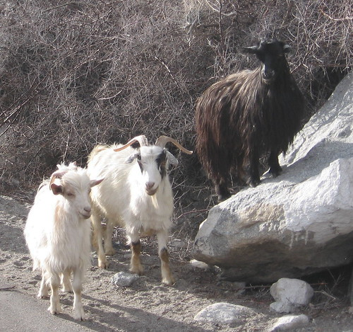 Pashmina goats. Shopping for Pashmina in Kathmandu: A Complete Guide
