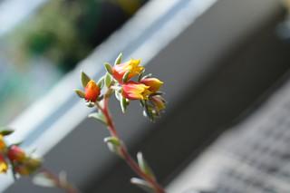 DSC_6106  Echeveria secunda 'Pinwheel' sp. 3/07 tuxpanensis