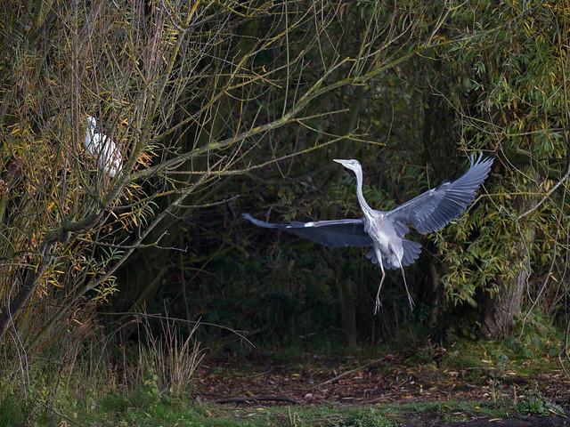 Heron & Egret - in a tree_2