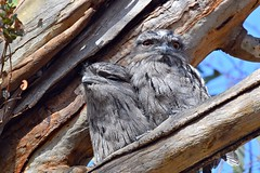 Tawny Frogmouth  ( off the nest )