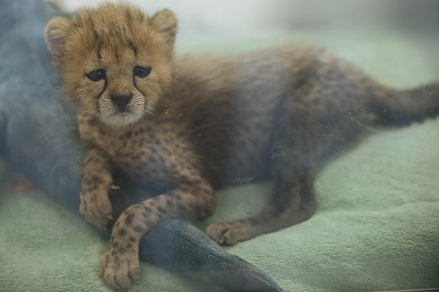 Roketi the Cheetah Cub, 6 Weeks Old.