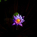 Water Lilly V
