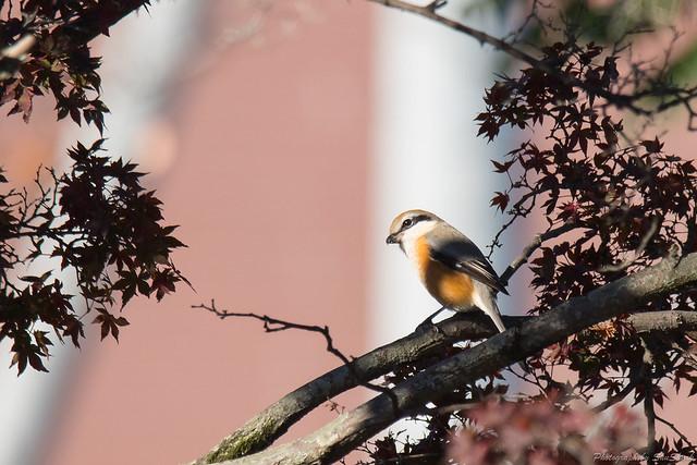 20171124-kingfisher-DSC_8357