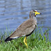 Small photo of African Wattled Lapwing