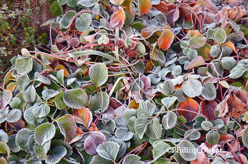 strawberry-plants-frost