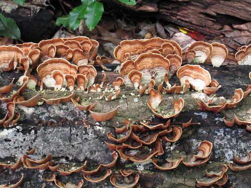 Mushroom Turkey Tail