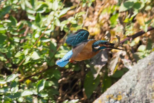 20171113-kingfisher-DSC_7658