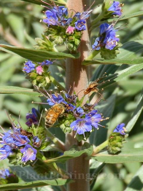 Echium bee