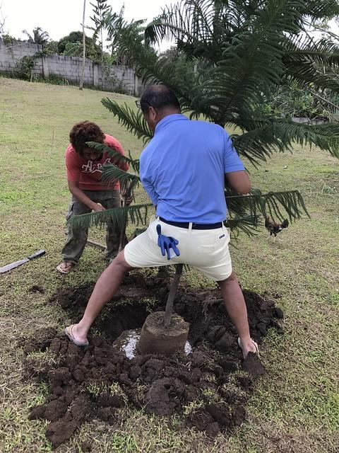 Edmund plants pine tree